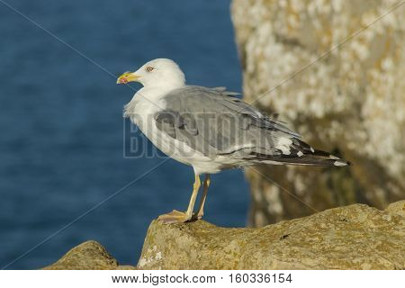 Yellow-legged gull ( Larus michahellis ) on the coast of Peniche Portugal.
