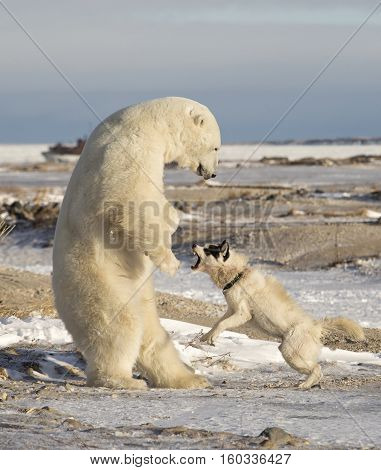 Canadian Eskimo dog retaliates as polar bear plays too rough.  Mile 5, Churchill, Manitoba, Canada.  Neither animal was harmed