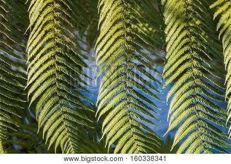 close up of silver fern tree leaves