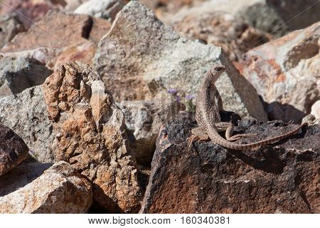A lizard suns himself on a rock in the intense afternoon sun in the California desert