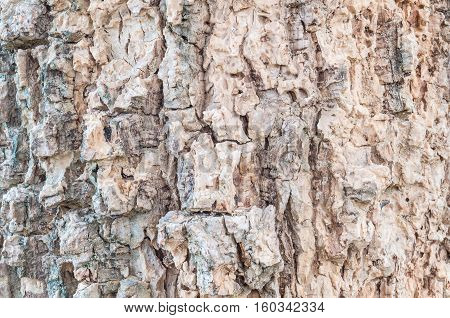 Closeup surface wood pattern at old cracked skin of trunk of tree textured background