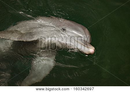bottlenose dolphin looking up from the water