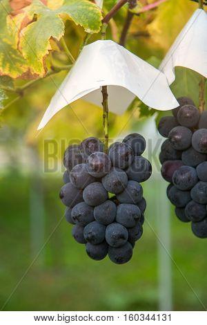 grapes garden at Fukushima city in Japan