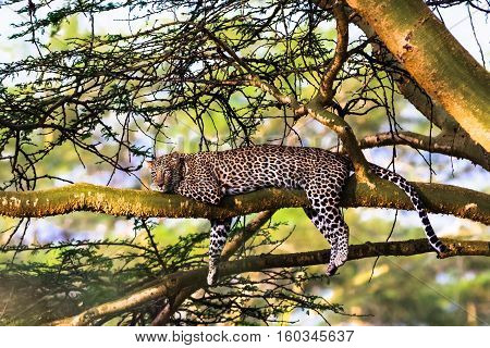 Leopard resting on a tree. Nakuru, Kenya