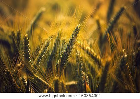 Barley crops field detail grain cereals growing in cultivated field