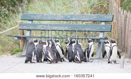 Group Of African Penguin (spheniscus Demersus)