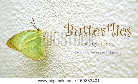 Butterflies photo focus select at wing green color he on white wall are blur Have space for your word.