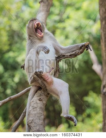 Monkey 's open mouth and genitals .