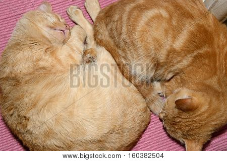 Two Slipping Red Cats Are On Pink Pet Underlay.