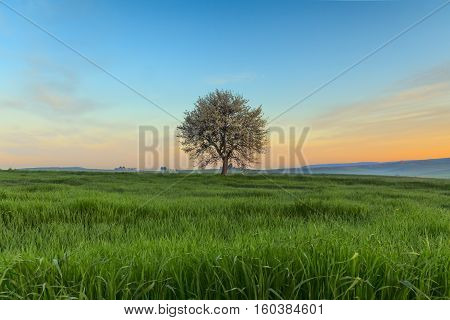 Spring sunrise. Between Apulia and Basilicata: vernal landscape with wheat field.ITALY.Lone tree in bloom over corn field iunripe