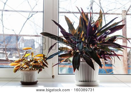 Two Houseplants In White Pots On Window Sill