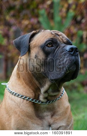 Red on red. Closeup portrait of a beautiful dog breed South African Boerboel on the background of autumn grape leaves. South African Mastiff.