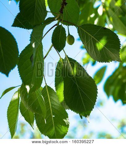 the green cherries ripen under the sun