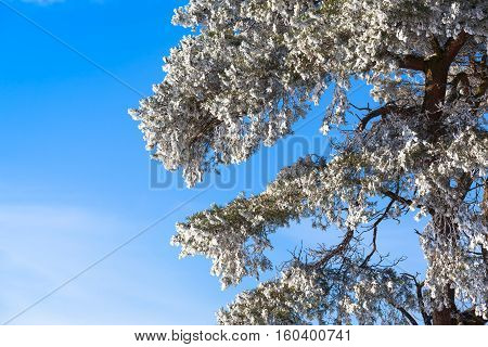 Detail of beautiful snowy tree in winter with blue sky background (copy space)