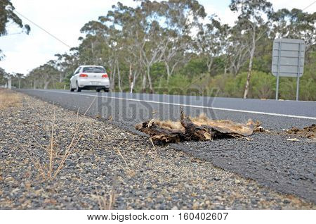 Dead wombat roadkill on the side of the road, hit by a passing car. Australian roads a danger to wildlife.