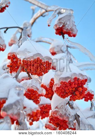 Branches of ash berry in ice. Outdoor photo