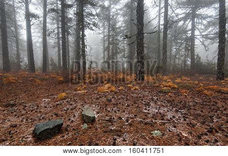 Winter forest landscape with yellow plants at the ground at Troodos mountains in the island of Cyprus
