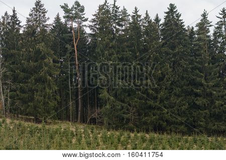 Monoculture in post-planted spruce trees forestry and afforestation