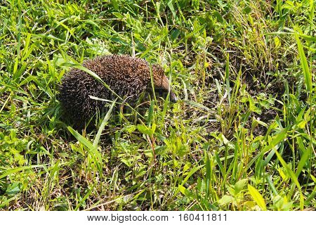 Young prickly hedgehog on the green grass