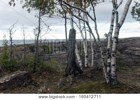 The trunks of white birches on the black rocks of Presque Isle Park, Marquette County, Michigan, USA