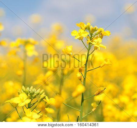 Golden rape flower in a rape field