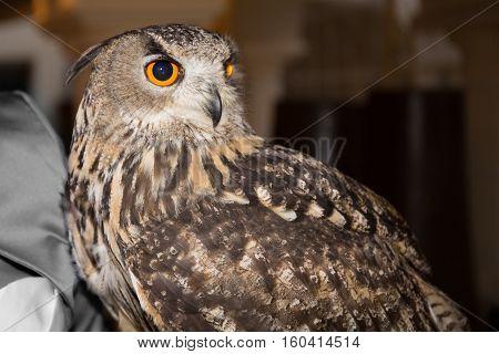 a raptor bird portrait of eagle owl
