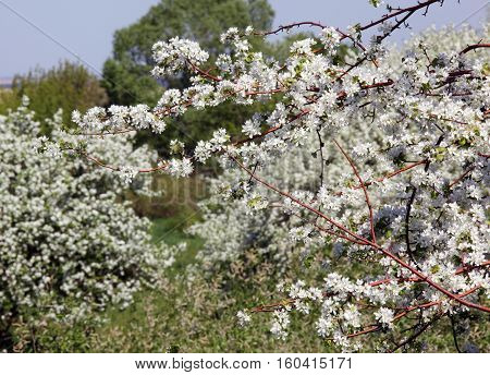 walk outdoors during the spring flowering apple trees