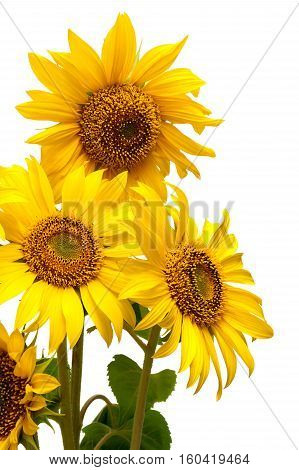 Sunflower flower close-up isolated on white background. vertical photo.