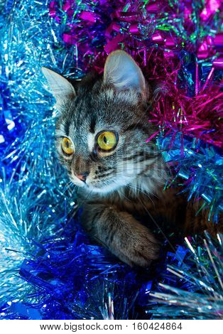 Kitty Looking Out Tinsel.