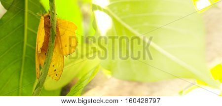 Butterfly yellow color macro photo he on the tree and graphic fade to soft blur have space for your word.