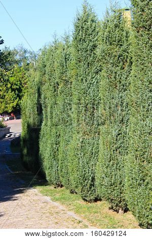 Alley of thuja in the city park