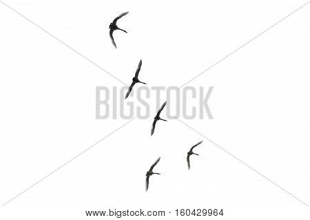 Flying birds isolated on the white background