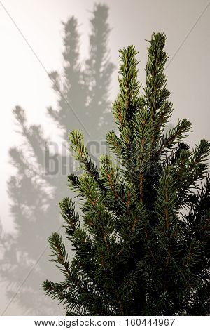 Christmas Tree. Fir Tree Branches Macro. Canadian Blue Spruce.