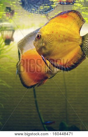 fish in the aquarium two Discus fish- Symphysodon aequifasciatus