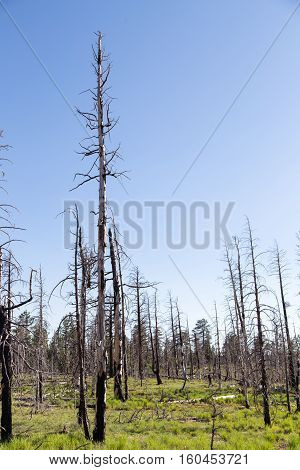 In Bryce Canyon National park dead burnt trees reach up into the blue sky in contrast to the soft greenery that has formed on the forest floor as it begins the rejuvenation process that takes place after a wildfire or controlled burn