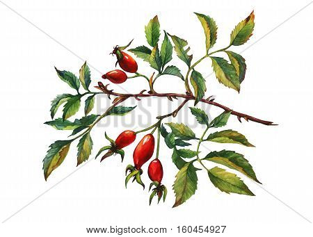 A branch of Dog rose (Briar) with red berries and green leaves. Hand drawn watercolor painting on white background.