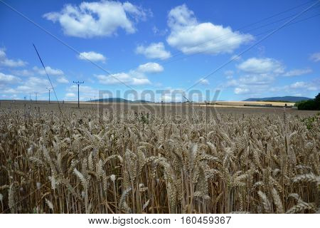 Ripening Yellow Wheat Ears On Field At Summer Time. Golden Wheats (triticum) Spikelets With Blue Clo