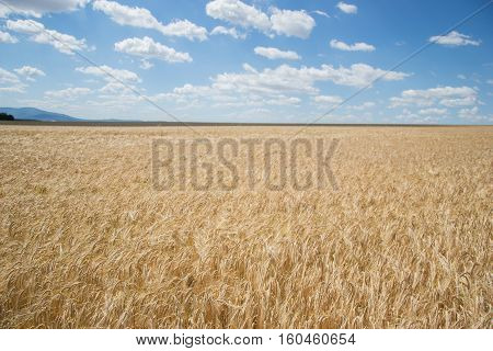 Ripening Yellow Barley Ears On Field At Summer Time. Golden Barley (hordeum Vulgare) Spikelets With