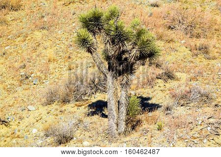 Lone Joshua Tree surrounded by sand and sage plants taken in the Mojave Desert, CA