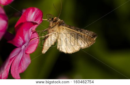 a brown moth pollinating ba pink flower