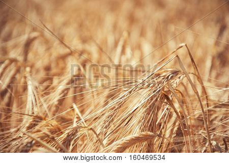 Close up of ripening yellow barley ears on field at summer time. Detail of golden barley (Hordeum vulgare) spikelets. Rich harvest