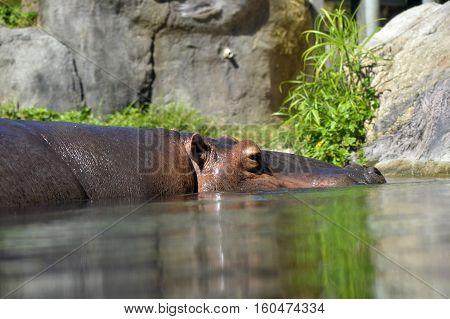 A Hippopotamus Latin name Hippopotamus amphibius swimming