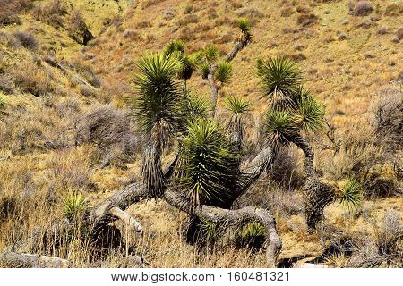 Joshua Tree surrounded by sagebrush taken in the Mojave Desert, CA