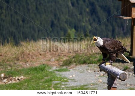 Front view of a Bald Eagle screaming on Grouse Mountain in Vancouver, Canada