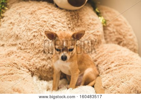 Chihuahua puppy sits on large stuffed teddy bear