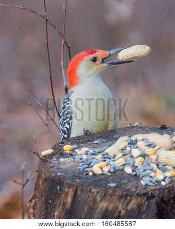 Male red-bellied woodpecker eating bird seed on a wooden post.