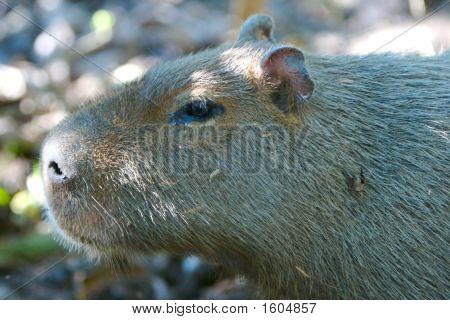 Capibar