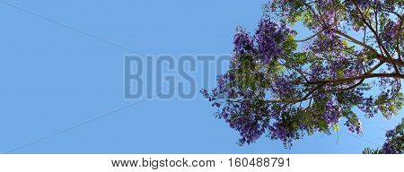 A Jacaranda tree branch with purple blossoms on a clear blue sky.