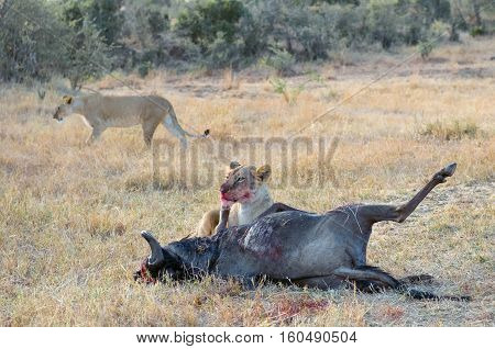 Lioness eating killed wildebeest after hunt in savannah, safari in Kenya, Africa