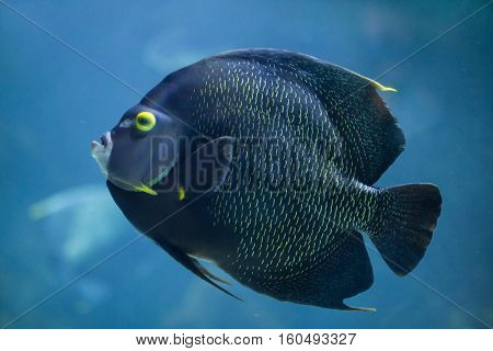 French angelfish (Pomacanthus paru). Marine fish.